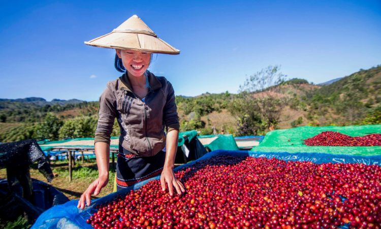 Women coffee farmer from Shan State